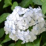 アジサイ紙吹雪
