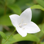 白花キキョウ