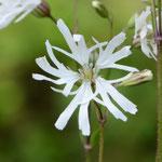 白花カッコウセンノウ