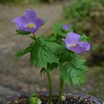 ついに立ち上がり花を咲かせた濃色シラネアオイ