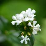 白花ハマナデシコ