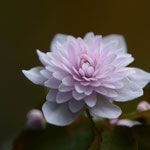 ピンク八重梅花カラマツ「カメオ」