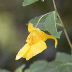 黄花ツリフネソウ
