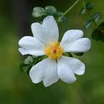 また咲いた「八重山ノイバラ」