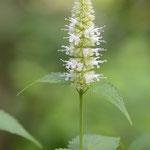 白花カワミドリ