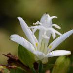 ホトトギス(白花)