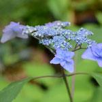 ヤマアジサイ七段花