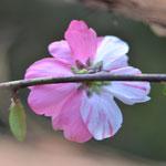 源平咲桃の裏側