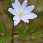 ブルーがかった菊咲イチゲ