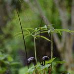 南国浦島草