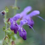 アキギリ(紫)