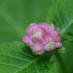 開花したばかりのギンバイソウ(銀梅草)