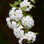 八重咲コデマリ