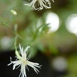 白花長花ビランジ