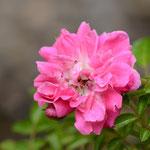 八重山ノイバラ(赤花)