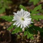 八重咲菊咲イチゲ「雪の精」