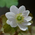 梅花カラマツ(白花)