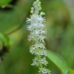白花ツルボ(蔓穂)