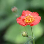 赤花ダイコンソウ