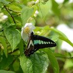 梅花カラマツにとまる蝶