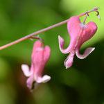 赤花コマクサ