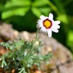 アサギリ小菊