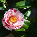 吹上椿(一つの木に違った柄の花)
