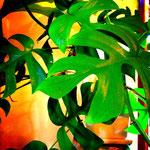 モンステラはインドア植物のスタンダード