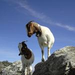 Ziegen auf über 3000 mtr.