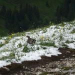 Irgendwas findet sich immer. Alpenschneehuhn