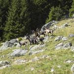 Ziegenherde unterhalb vom Franz Huber Steig