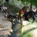 Durstige Ziegen am Waalweg