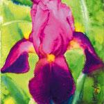 KH-i12-Iris: Violette Iris