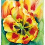 KH-A2-Tulpen2: Aufgeblühte Tulpe