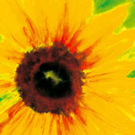 KH-S1-Sonnenblume: Sonnenblume