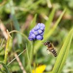Eine Biene auf der Suche nach Nektar.
