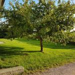 Apfelbaum im Vorgarten