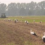 Störche auf Nahrungssuche nach der Feldbearbeitung, ©Arnulf Weingardt