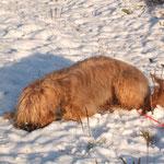 zur Belohnung noch einen Haps Schnee... *lecker*