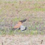 ...einem Turmfalken-Männchen auf der Jagd (durch den extremen Zoom etwas unscharf, aber das beste Bild von den gefühlten 20.000 Fotos nur vom Falken!)