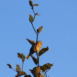 ein singendes Goldhähnchen