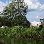 ...ja da kann man... tolle Kühe dort am Ufer stehen seh`n :-D