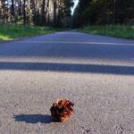 nachdem um 6 Uhr morgens (!) die Straßenkehrmaschine den Radwanderweg gesäubert hatte, gab es einen renitenten Kienappel, der Frauchen zum Lachen brachte :-D - nachmittags lag eh alles wieder voll mit den Früchten der Märkischen Palmen