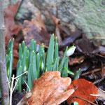 ...zu Hause grüßen schon die ersten Frühlingsboten