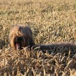 ...Briard im Weizen ;-)