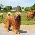 """und dieses Mal gibt`s auch endlich ein Foto mit den """"Briard""""-Kühen ;-) eine gewisse Ähnlichkeit ist unverkennbar! aber solche Hörner würden mich eh nur stören!"""