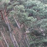 """... """"Märkische Palmen"""" genannt (in echt: Pinus sylvestris)"""