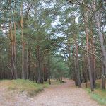 der Weg vom Strand zurück zum Auto führt wieder durch den Kiefernwald