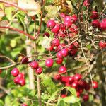 überall Früchte: hier Hagebutten