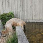Auch hier durfte ich nur meinen Durst stillen & leider nicht baden (Frauchen hat mir das im letzten Moment verboten! Dabei war ich schon am Rüberklettern.)